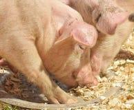 Comida dos porcos Imagens de Stock