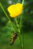 Comida muerta de la abeja para la araña Imagen de archivo