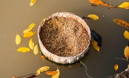 Comida para el cisne Imagen de archivo libre de regalías