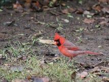 Comida que busca cardinal roja en día lluvioso Foto de archivo libre de regalías