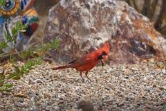 Comida que busca cardinal septentrional masculina Fotografía de archivo
