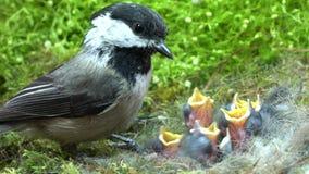 Comida r?pida del chickadee del beb?