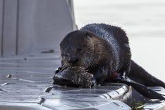 Comidas da lontra para baixo em peixes imagem de stock