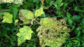 Comido por los parásitos Las plantas son dañadas por los animales metrajes