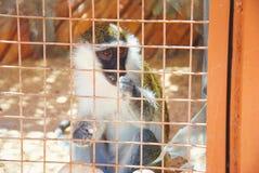 Comiendo el mono de Vervet del africano - aethiops de Chlorocebus - los aethiops de Chlorocebus del grivet, también conocidos com Foto de archivo