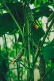 Comiendo los pepinos crecen en un invernadero imagenes de archivo