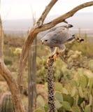 Comienzo intenso del halcón gris Imagen de archivo
