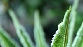 Cominci delle foglie e del vento dei cycads stock footage