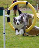 Coming Through. Tricolor Merle Border Collie jumping through a hoop Stock Image