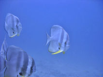 Coming Closer. Curious and friendly batfish Royalty Free Stock Images