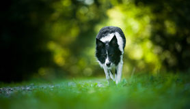 Coming and Crouching Dog (Black and White Border Collie) Royalty Free Stock Photography