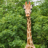 Coming In For Her Close-up. A giraffe walks towards the photographer stock photo