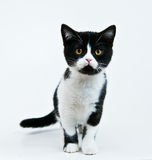 Coming kitten. Black'n'white kitten come to me royalty free stock photo