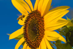 Coming in for a Landing 1. A honeybee flying to a sunflower Royalty Free Stock Photography