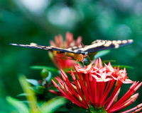 Coming in for a landing Butterfly Royalty Free Stock Photography