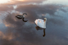 Coming Mummy. Swan & cygnet on the river shannon as the sun begins to set Royalty Free Stock Image