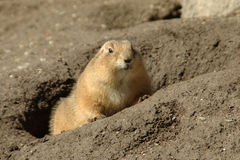 Coming out from the hole. Groundhog is coming out from his hole in the end of February stock photography