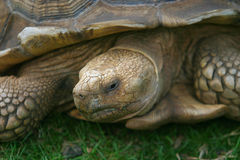 Coming Out of my Shell. Close up on a giant Galapagos tortoise Royalty Free Stock Photo