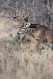 Coming out of the thicket. A big whitetail buck coming out of plum thicket Royalty Free Stock Image