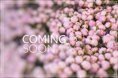 Coming Soon. Lots of pretty and romantic violet and pink peonies. In floral shop Royalty Free Stock Photography