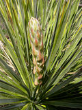 Coming of spring. Emerging Yucca Flower Stock Images