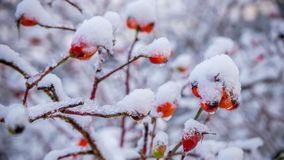 Melting snow on rose-hips symbolises coming of spring. royalty free stock photography