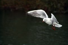 Coming in to land. A seagull coming in to land on a lake Stock Images
