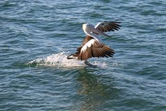 Coming in to land. A pelican brakes with its feet as it skis to a halt Stock Photo