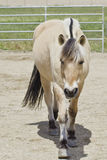 Coming to say Hello. Norwegian fjord horse coming in to say hi Stock Photography
