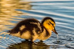 Coming up for air. Adorable duckling coming up from water after taking a drink. Beautiful yellow and brown coloring on the little guy/gal. A trail of water stock photo