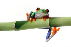 Coming At You. Red-Eyed Tree Frog with his toes in the air.  Isolated on white background Stock Images