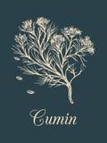 Cominhos do vetor com ilustração das sementes Esboço aromático culinário da especiaria Desenho botânico no estilo da gravura Imagem de Stock Royalty Free