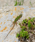 Cominotto Maltese wall lizard Royalty Free Stock Photography
