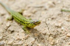 Cominotto Maltese wall lizard. Colourful Cominotto Maltese wall lizard in Gozo Royalty Free Stock Photo