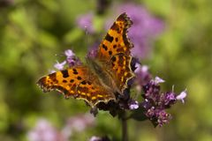 Comma. Butterfly or polygonia c-album Stock Image