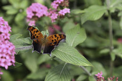 Comma Anglewing Butterfly. A Comma Anglewing Butterfly is resting on the leaf Stock Image