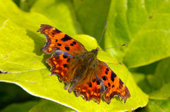 Comma Butterfly 15. A Comma Butterfly (Polygonia c-album) sunbathing in the early Autumn sunshine Stock Photography