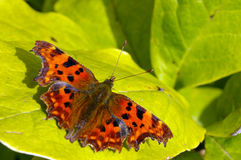 Comma Butterfly 16. A Comma Butterfly (Polygonia c-album) sunbathing in early Autumn sunshine Stock Photos