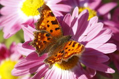 Comma butterfly Royalty Free Stock Photos