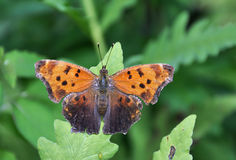 Comma Butterfly. Perched on a green leaf Stock Photos