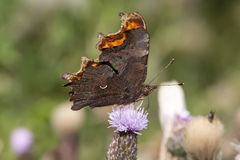 Comma butterfly Stock Photo