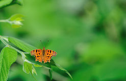 Comma butterfly Stock Photos