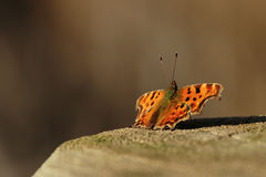 Comma butterfly. (Polygonia c-album) sitting in the sun royalty free stock photos
