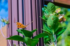 The comma butterfly on leaf of green plant Royalty Free Stock Photo