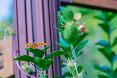 The comma butterfly on leaf of green plant Royalty Free Stock Images