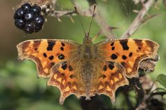 A comma butterfly royalty free stock photography