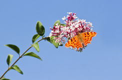 Comma butterfly with blue sky Royalty Free Stock Image