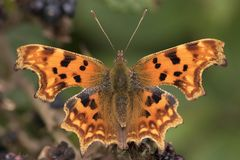 A comma butterfly stock photo