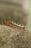 Comma Butterfly Caterpillar on Stone Wall Stock Photography