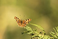 Comma butterfly. A close up image of a Comma Butterfly, Polygonia c-album, at rest on a fern frond, Mere Sands Wood Nature Reserve, Lancashire, England. 30 July royalty free stock images